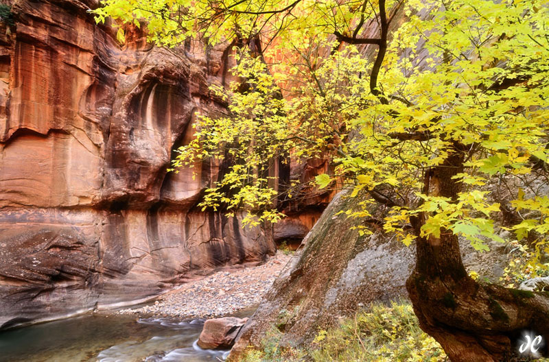 Fall color in the Virgin River Narrows, Zion National Park, Utah