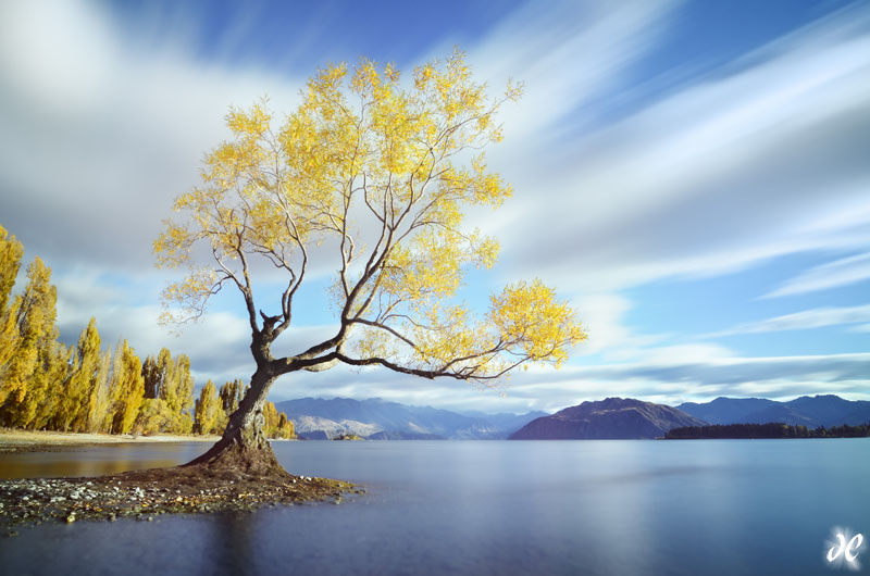 Lake Wanaka willow in fall color, South Island, New Zealand