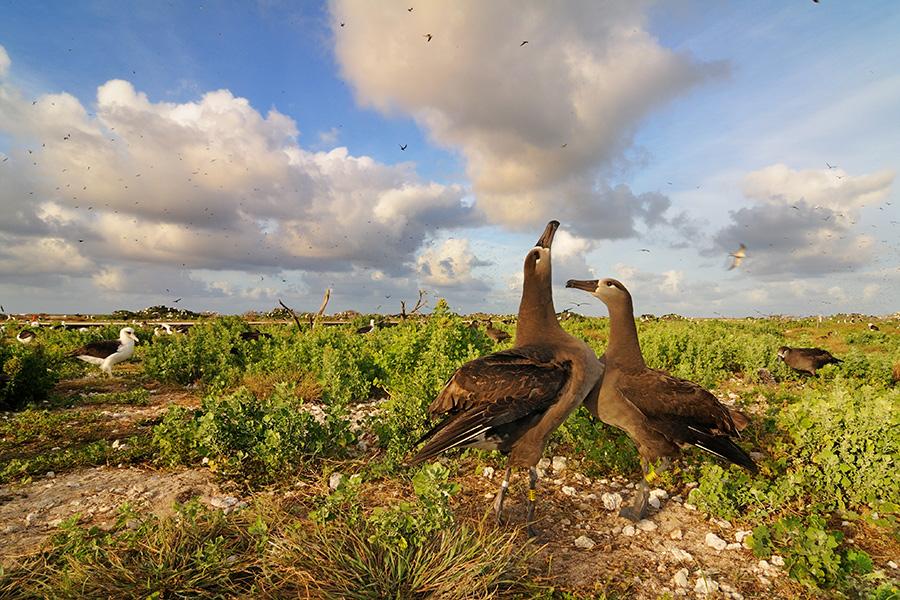 Tern Island Blackfooted Albatross