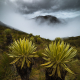 frailejon-trees-los-nevados-national-park-colombia